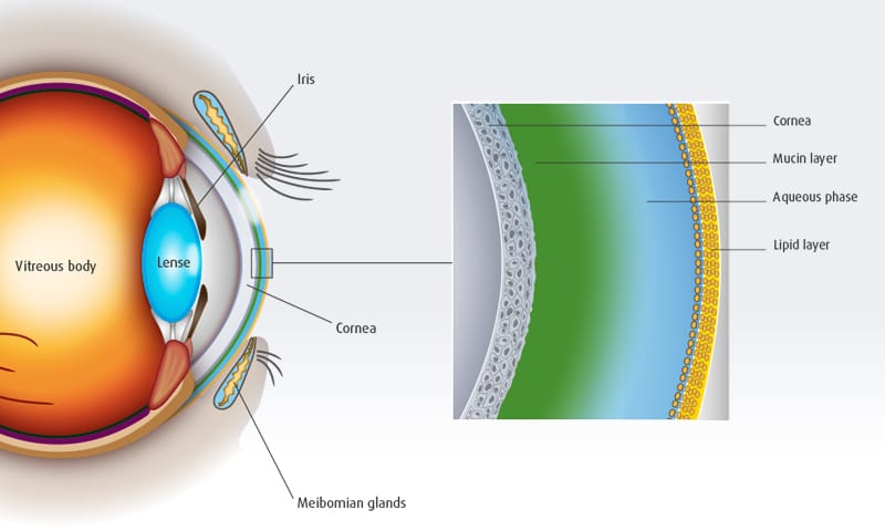 Schematic representation of an intact tear film